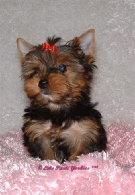 average lifespan of yorkie poo what is a yorkie