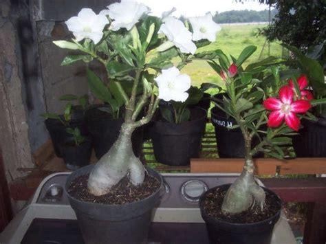 Pupuk Untuk Bunga Bonsai cara menanam bunga adenium tanaman hias bunga buah dan sayur