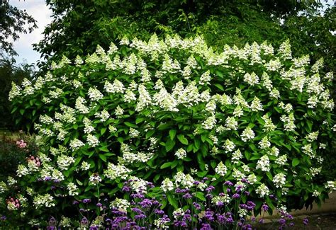 Flowering Shrub Shade - be the first to review tardiva white hydrangea cancel reply