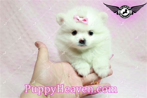 are teacup pomeranians hypoallergenic teacup pomeranian puppies in los angeles