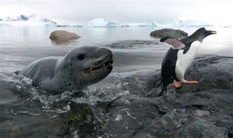 happy feet panic saves penguin world news express co uk