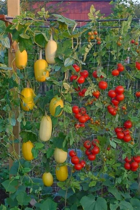Grow Vertical Garden 25 Best Ideas About Growing Spaghetti Squash On