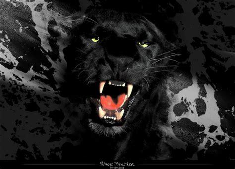 panther colors zwarte panter black panther zwarte panter black panther