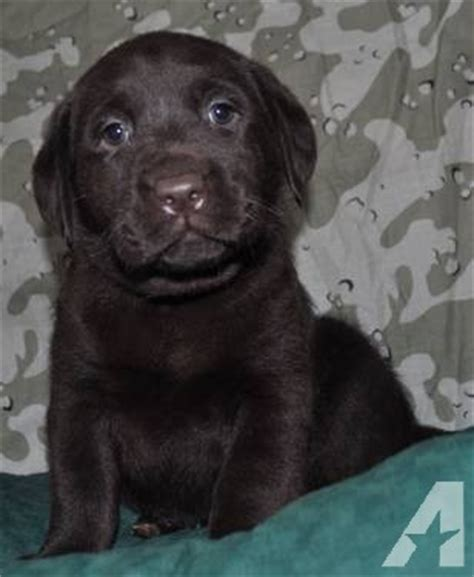 lab husky mix puppies for sale adorable blue eyed chocolate lab husky mix puppies for sale in ludington michigan