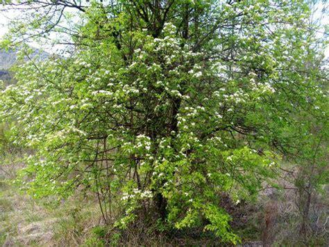 imagenes espino blanco fotos de espino blanco