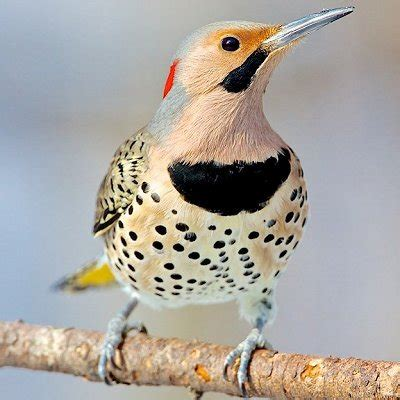 pictures of birds in alabama pictures of state birds complete photo gallery best bird and beautiful birds ideas