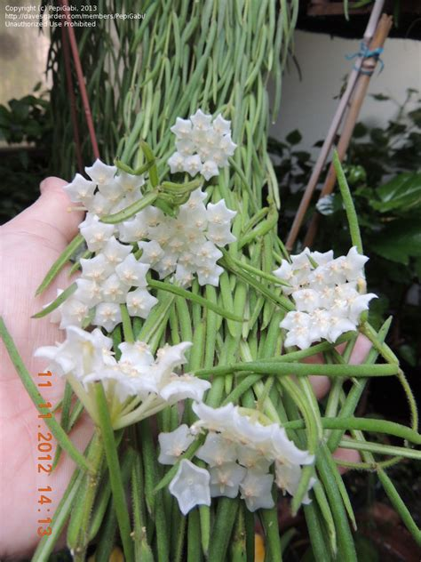 Indoor Plants No Sun plantfiles pictures hoya species wax plant porcelain