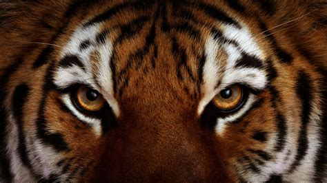tiger hd wallpapers tiger pictures free download 1080p hd wallpapers images pictures desktop
