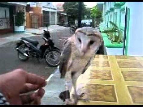 barn owl cara melatih burung hantu burung hantu on cfd doovi