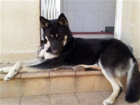 gerberian shepsky puppies for sale gerberian shepsky german shepard husky mix dogs and puppies 36608643 junk