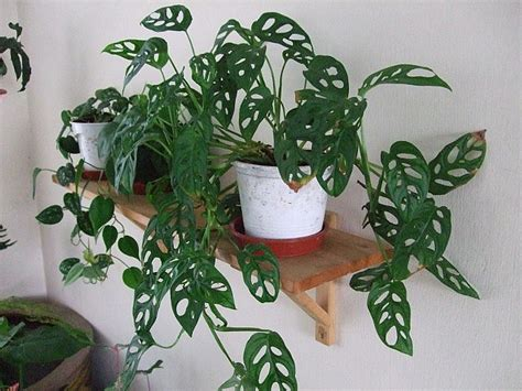 indoor vine plant monstera adansonii swiss cheese vine aka monstera