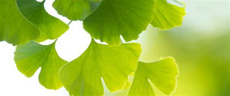 best ginkgo biloba supplements the best gingko biloba supplements brands our top 8 list