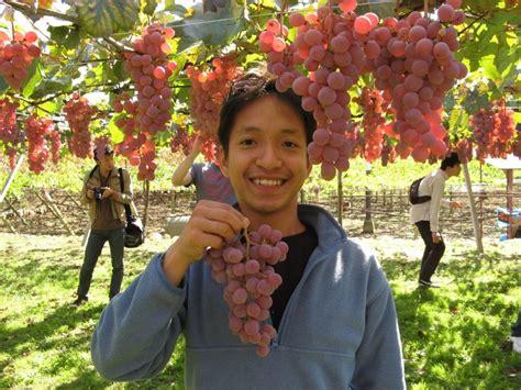 Jual Bibit Anggur Daerah Jakarta grape of willy yanto wijaya