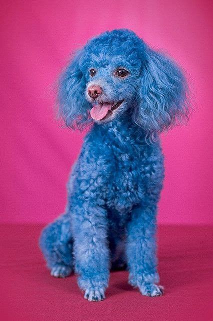french poodle haircuts 116 best dogs with color images on pinterest creative