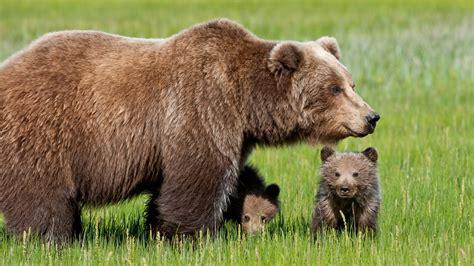 imagenes animales hd 1080p orso bruno il portale dei bambini