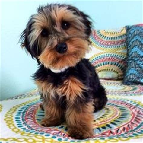 Do Dorkies Shed by Yorkiepoo This Mixed Does Not Shed Does Not Bark And Would Be Great For An Apartment