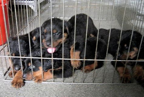 rottweiler for sale in philippines rottweiler puppies for sale adoption from manila metropolitan area pasig adpost