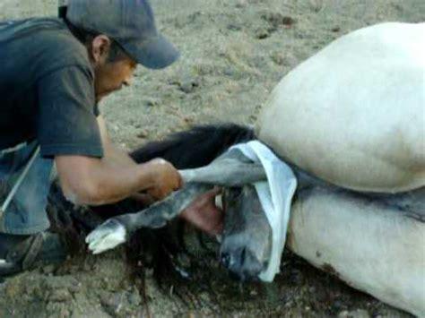 imagenes anormales reales parto de yegua youtube