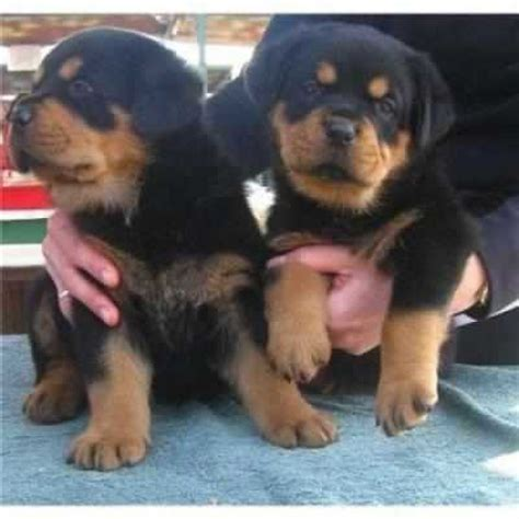puppy rottweiler for adoption beautiful rottweiler pups for adoption offer 200