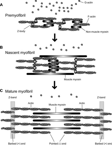 4 proteins associated with myofibrils fig01 dynamic regulation of sarcomeric actin filaments in