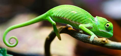 The Chameleon by To Blend In Or Stand Out Siowfa14 Science In Our World Certainty And Cont