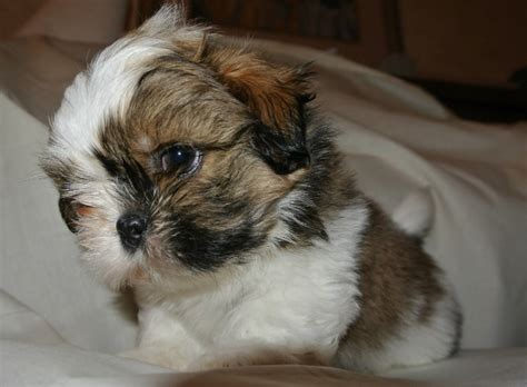 best shoo for shih tzu puppy new puppy owner faq