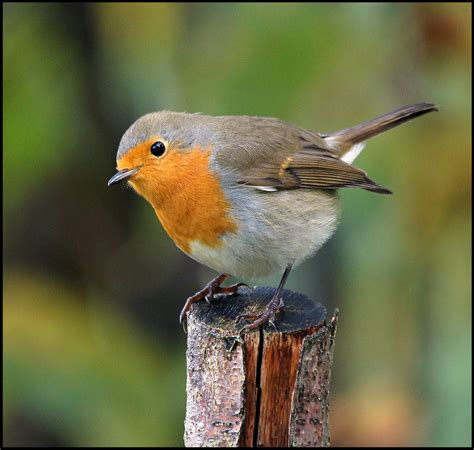 treknature european robin photo