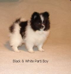 black and white parti pomeranian this pomeranian puppy is the child of mr montana pomeranian