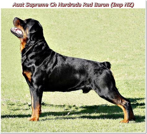 rottweiler to buy buy rottweiler puppies nz photo