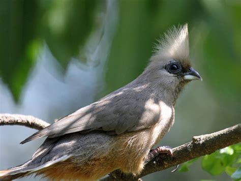 dead birds for sale for taxidermy mousebird buy dead birds for taxidermy