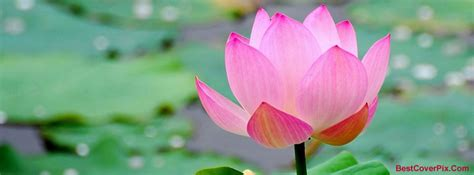 lotus flower cover photo floral and flowers timeline covers