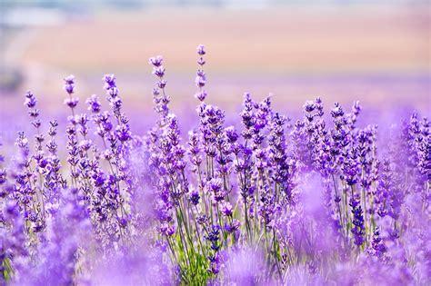 Bibit Bunga Lavender bunga lavender gallery