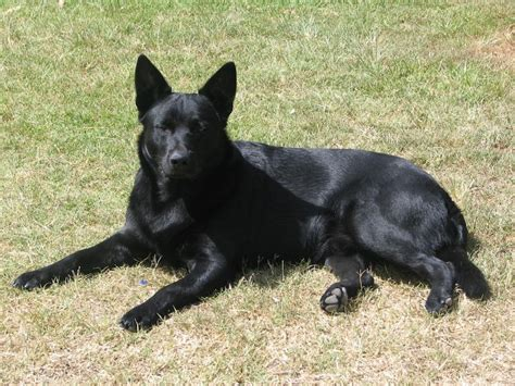 all black dogs black elkhound breed information pictures and facts alldogsworld