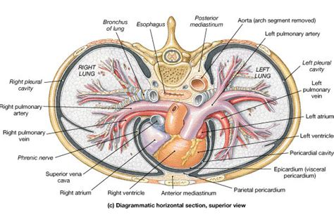 transverse section of lungs bio 100 heart anatomy