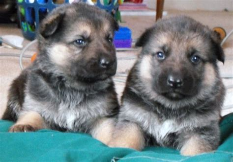 german shepherd puppies minnesota german shepherd for sale in mayer minnesota german shepherd puppy for sale