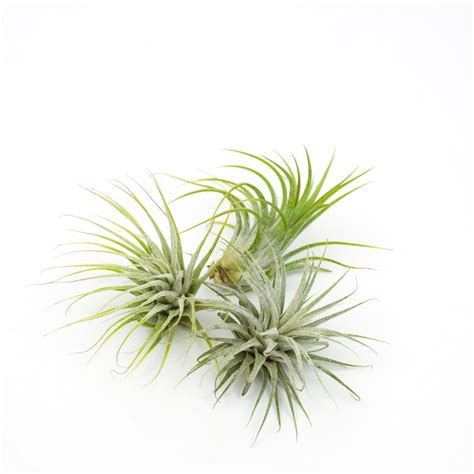 Air Plants | the air plant trio juicykits com