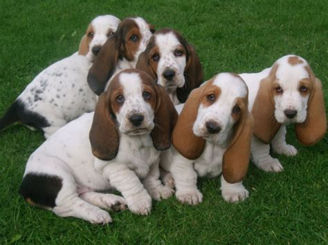 puppy basset hound beutiful marked basset hound pups leek staffordshire pets4homes