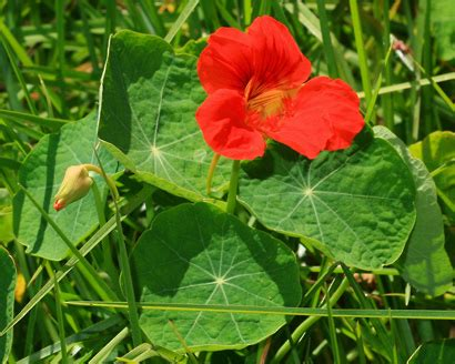 garden plants names and pictures tropaeolum majus nasturtium garden nasturtium hawaiian plants and tropical flowers