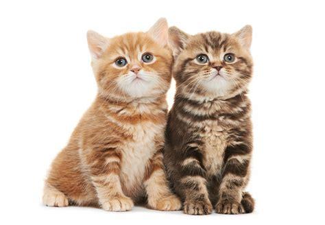 wallpaper of cute cat couple cute baby kitten couple cat animal love wallpaper love