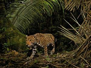 How Do Jaguars Protect Themselves National Geographic Impact Statement