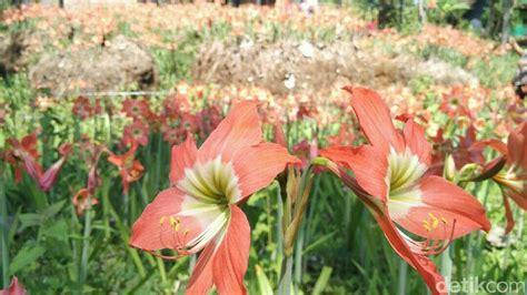bunga amarilis dulu dibenci  disayang