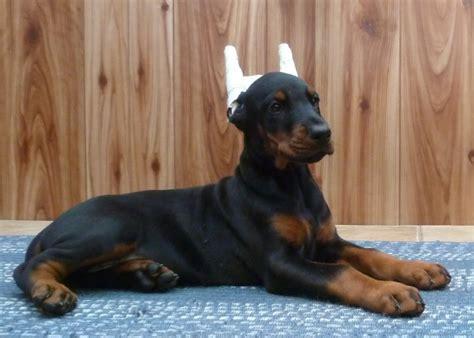 bone cancer in rottweilers rottweiler bone cancer in dogs newhairstylesformen2014