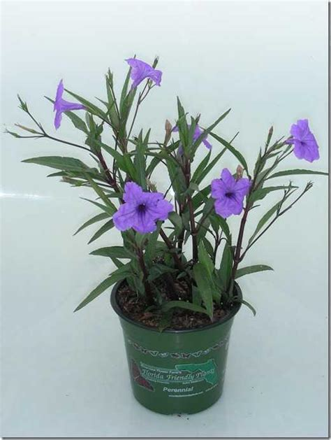 purple flowering shrubs in florida is plant code thdb2809 the sterile mexican petunia the