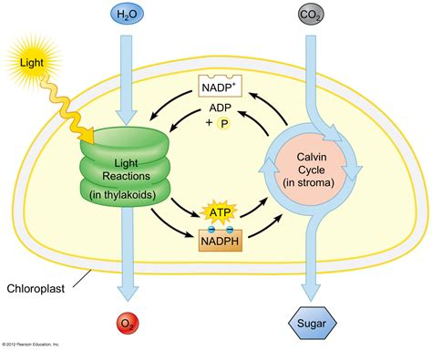 Light Reactions Of Photosynthesis by Initials Other And The O Jays On