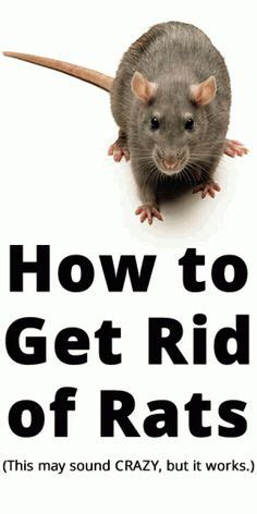 How To Get Rid Of Rats In Shed rats a rat and how to get rid on