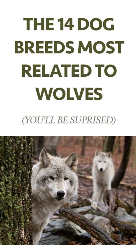 breed closest to wolf closest related to the wolf roselawnlutheran