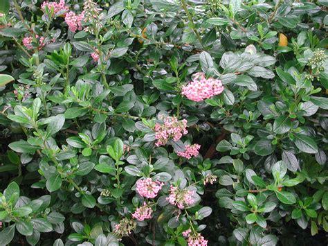 featured shrubs