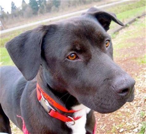 pitbull lab puppies labrador retriever american pit bull terrier mix allmutt