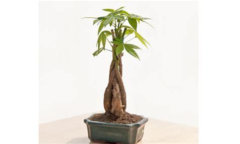indian nursery braided money tree exporter  supplier