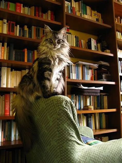 comfy library chairs 25 best maine coon ideas on maine coon cats pretty cats and beautiful cats